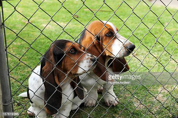 Bassets behind the Fence