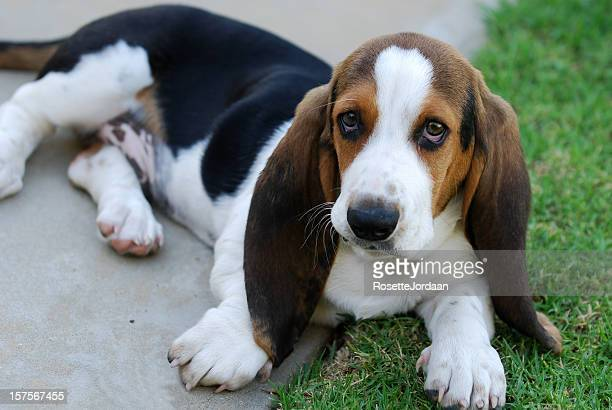 bassett hound - basset hound stock pictures, royalty-free photos & images