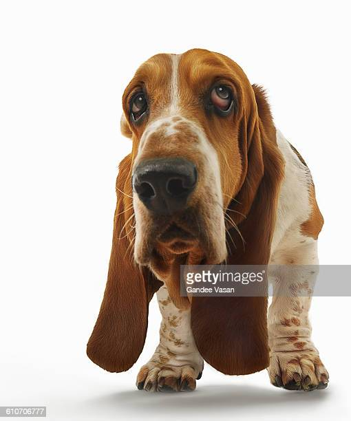 bassett hound - funny animals stock pictures, royalty-free photos & images