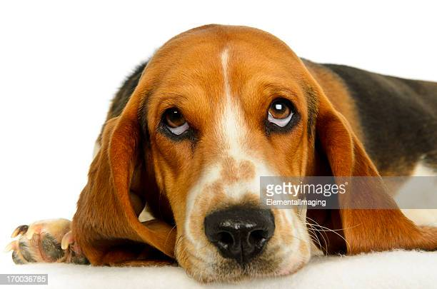 bassett hound studio portrait isolated on white - basset hound stock pictures, royalty-free photos & images