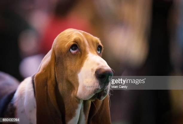 Bassett Hounds are judged in a show ring on the first day of Crufts Dog Show at the NEC Arena on March 09, 2017 in Birmingham, England. First held in...