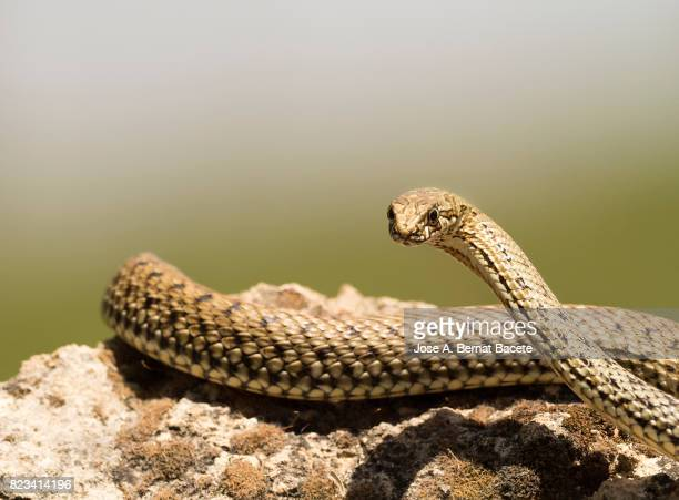 bastard snake or of montpellier (malpolon monspessulanus) ,looking for food between the holes in the rocks, spain - snakeskin stock pictures, royalty-free photos & images