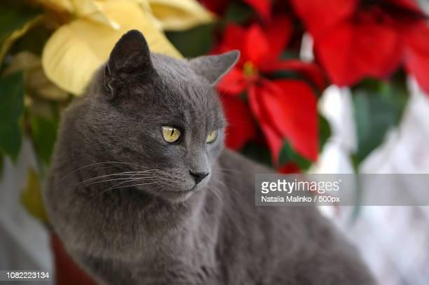 "bastis & ""noche buena"". - noche buena stock pictures, royalty-free photos & images"