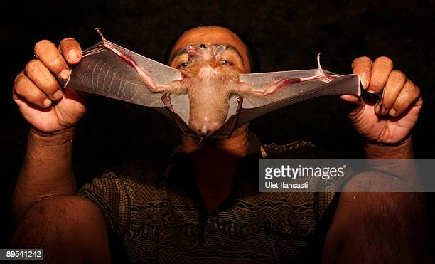 Bat catcher Gunawan displays a bat captured in a cave on July 31 2009 in Yogyakarta Indonesia A typical catch numbers around 800 bats a month The...