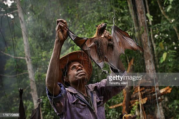 Bat catcher takes fruit bat from jungle net
