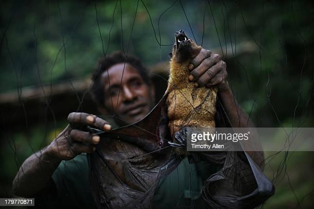bat catcher takes fruit bat from jungle net - un seul animal photos et images de collection