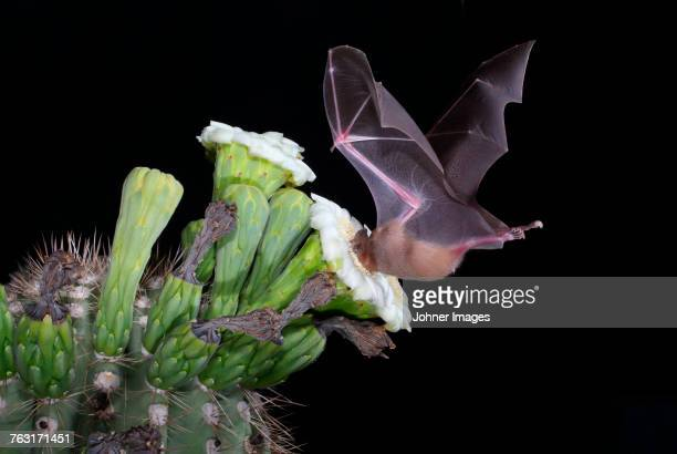 bat drinking flower nectar - pollination stock pictures, royalty-free photos & images