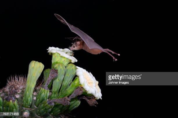 Bat drinking flower nectar