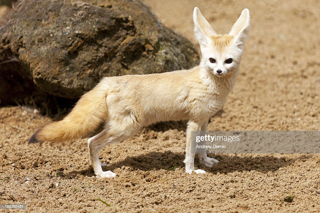 Bat Eared Fox : Foto de stock