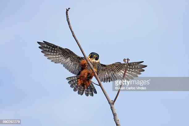 bat falcon - carlos falco fotografías e imágenes de stock