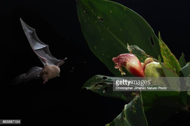 bat feeding from orchid flower - christopher jimenez nature photo stock pictures, royalty-free photos & images