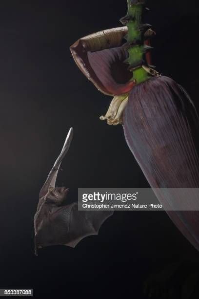 bat feeding on banana flower during the night in the rainforest - christopher jimenez nature photo stock pictures, royalty-free photos & images