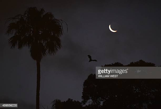 A bat flys over an innercity Sydney park on November 25 2014 as New South Wales is set to unveil tougher measures to tackle bats after three flying...
