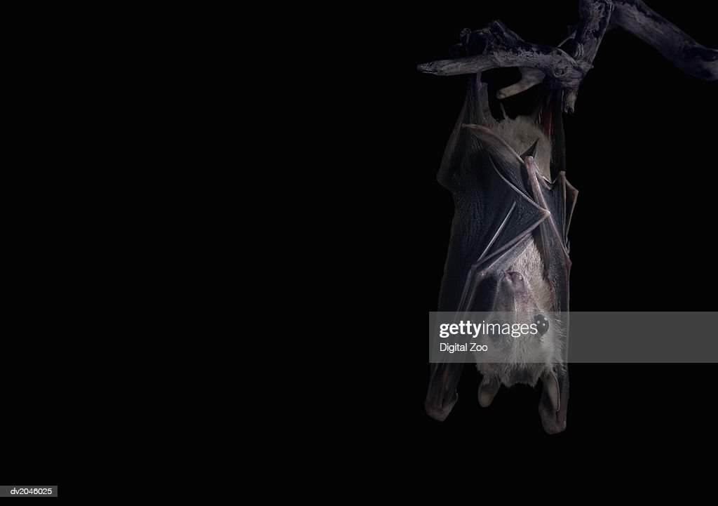 Bat Hanging From a Branch at Night : Stock Photo