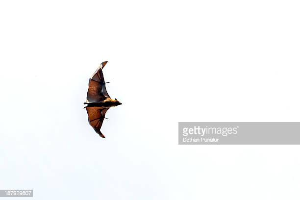 Bat in flying stage.