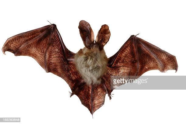 Bat (Ciroptera)