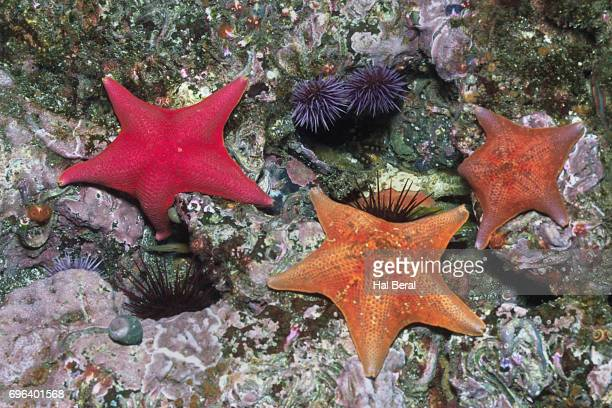 Bat Stars with Sea Urchins