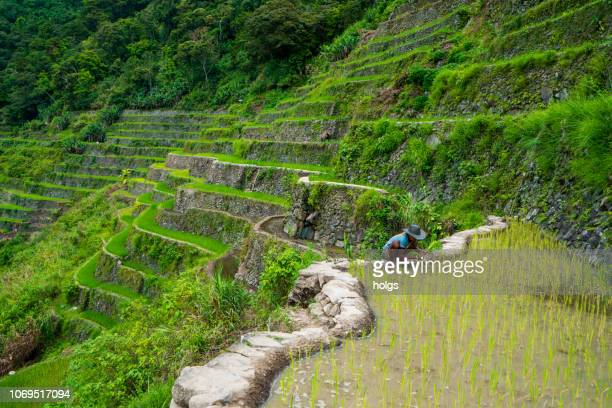 batad rice terraces in banaue, ifugao, philippines - filipino farmer stock photos and pictures