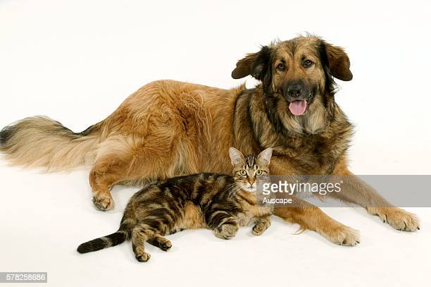 Batard dog and tabby cat Canis familiaris lying down side by side studio photograph