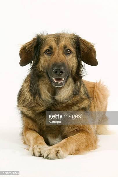 Batard dog Canis familiaris lying down attentive