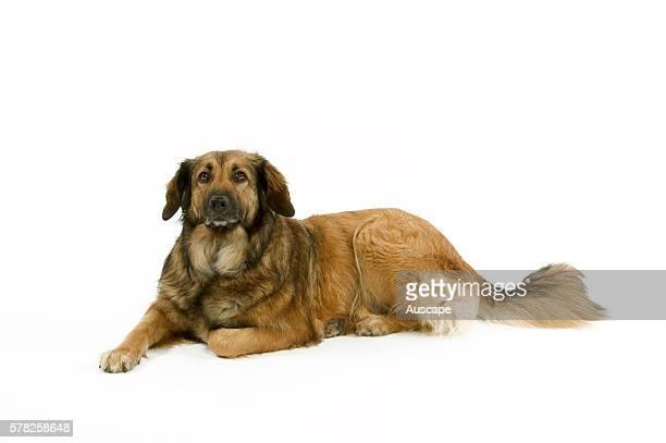 Batard dog Canis familiaris lying down