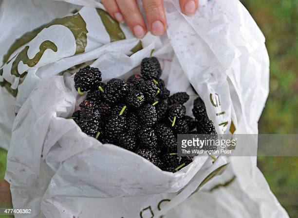 Batch of mulberries Sara has just picked from mulberry trees next to the Key Bridge on June 3, 2010.