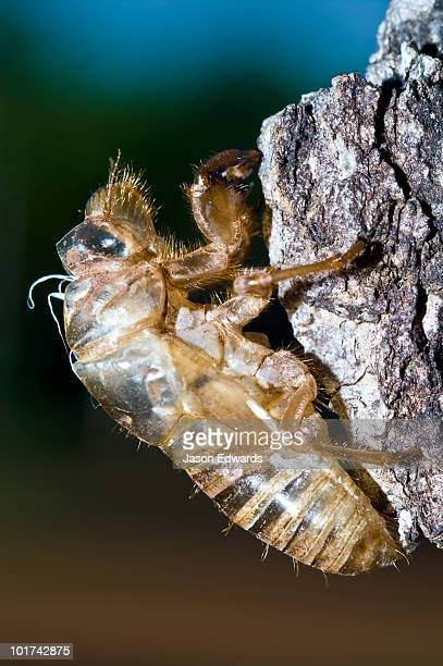 The transparent exoskeleton of a cicada nymph on a tree trunk.