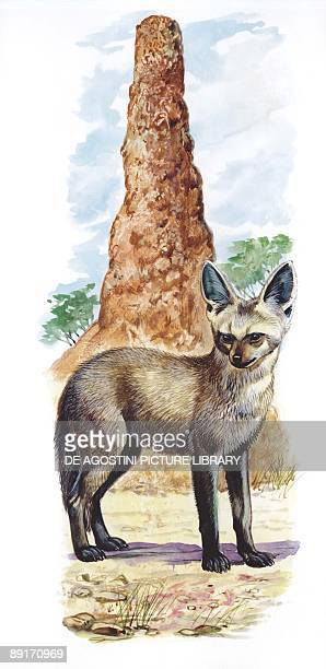 Bateared Fox in front of termite mound illustration