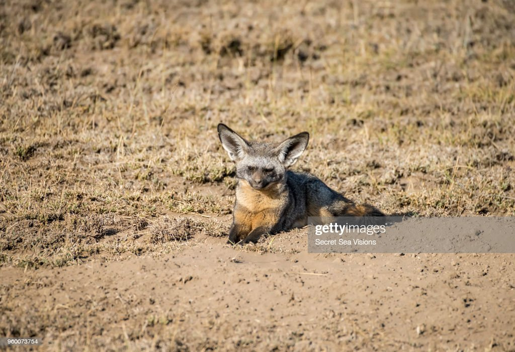 Bat-eared Fox : Stock-Foto