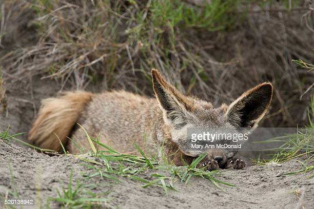 bat-eared fox resting near burrow - mary fox stock-fotos und bilder