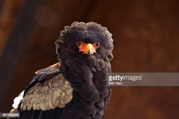 a bateleur bird of prey - bateleur eagle stock pictures, royalty-free photos & images