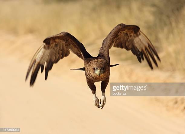 bateleur eagele in flight