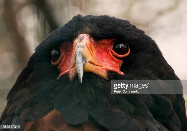 bateleur eagle head shot - bateleur eagle stock pictures, royalty-free photos & images