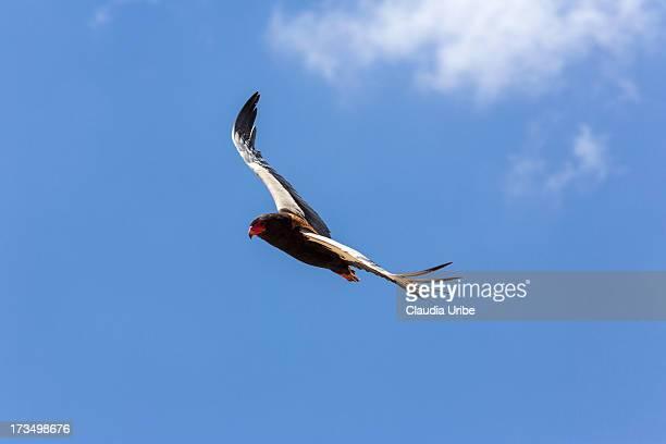 bateleur eagle in flight - bateleur eagle stock pictures, royalty-free photos & images