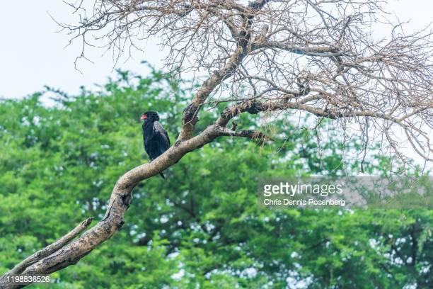 bateleur eagle (terathopius ecaudatus). - bateleur eagle stock pictures, royalty-free photos & images