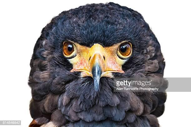 bateleur eagle - bateleur eagle stock pictures, royalty-free photos & images