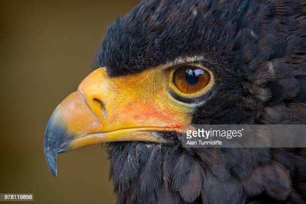bateleur eagle portrait - bateleur eagle stock pictures, royalty-free photos & images