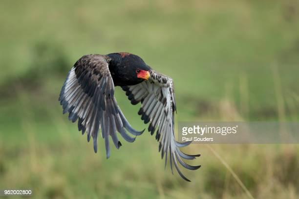 bateleur flapping wings, masai mara game reserve, kenya - bateleur eagle stock pictures, royalty-free photos & images