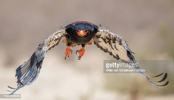 bateleur in full flight - bateleur eagle stock pictures, royalty-free photos & images