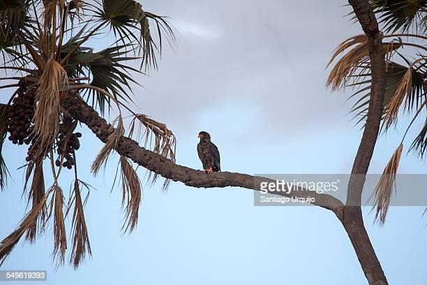 a bateleur perched on a palm tree - bateleur eagle stock pictures, royalty-free photos & images
