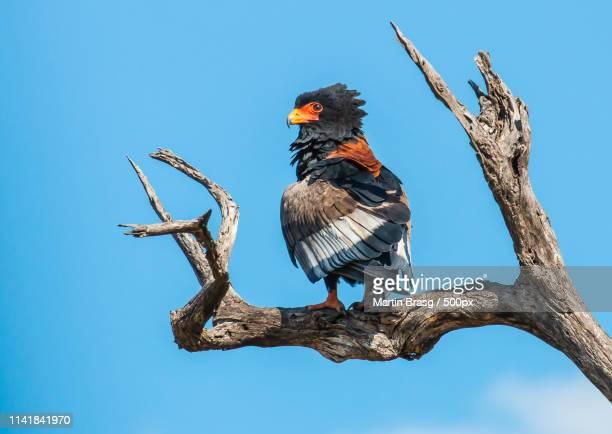 bateleur - bateleur eagle stock pictures, royalty-free photos & images
