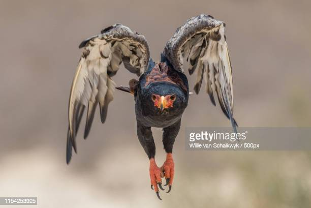 bateleur taking off - animals in the wild stock pictures, royalty-free photos & images