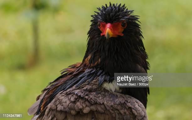 bateleur under the rain. - bateleur eagle stock pictures, royalty-free photos & images