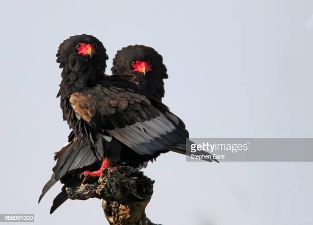 bateleurs - bateleur eagle stock pictures, royalty-free photos & images