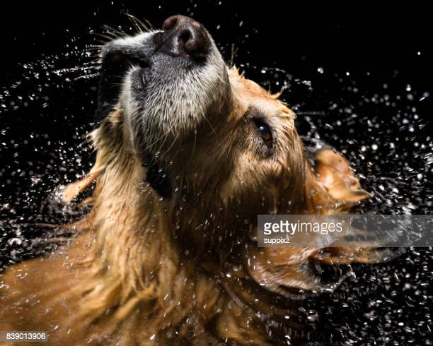 Bath dog Golden Retriever