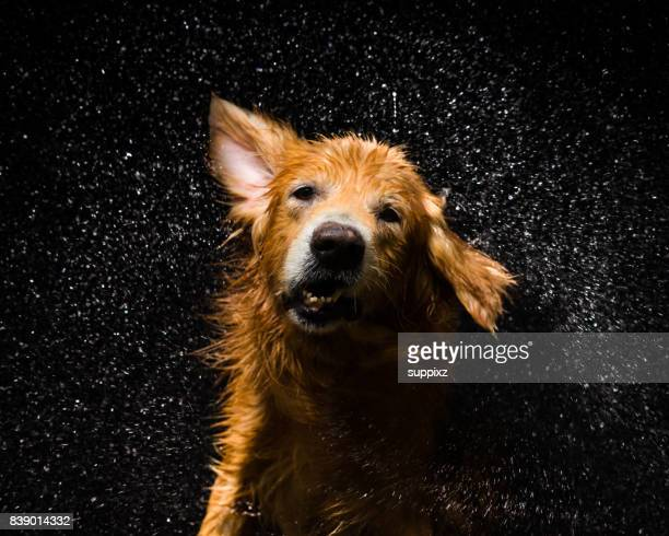bath dog golden retriever - slow motion stock pictures, royalty-free photos & images
