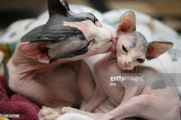 bath time - sphynx hairless cat stock photos and pictures