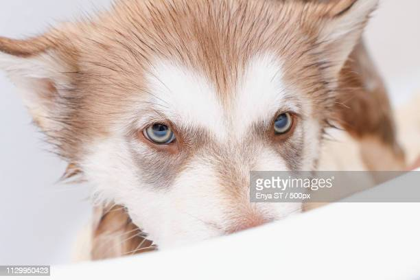 bathing a puppy alaskan malamute - malamute stock pictures, royalty-free photos & images