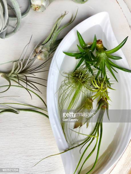 Bathing air plants in a bowl