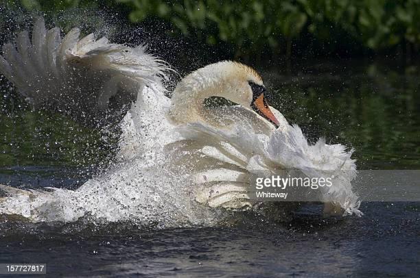 Si bagna femmina Cigno reale di moltitudine di piume